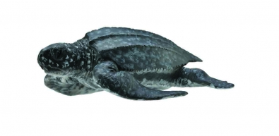 Leatherback Sea Turtle - 88680